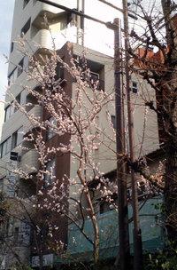 sakura_060323